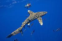 Woman photographs large oceanic white tip shark with attendant pilot fish , Carcharhinus longimanus, kona , Kona Coast, Big Island, Hawaii, USA, Pacific Ocean