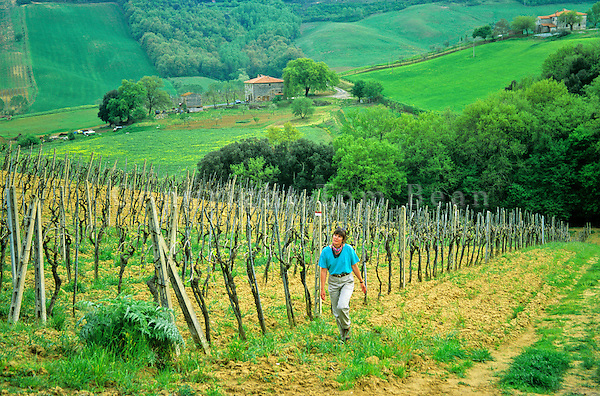 Walker follows footpath through vineyard, near San Gimignano, Tuscany, Italy, AGPix_0098 .
