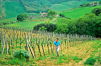 Walker follows footpath through vineyard, near San Gimignano, Tuscany, Italy, AGPix_0098 .