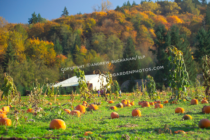 Close-up of pumpkins in late afternoon autumn sunlight streaking across this large pumpkin patch on a farm in western Washington state...