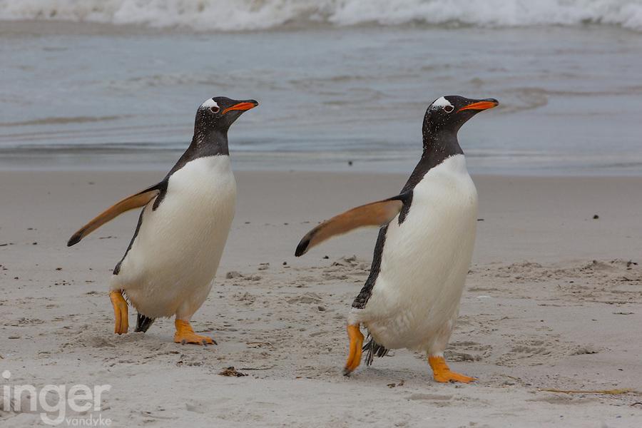Gentoo Penguins trotting along the beach at Carcass Island, the Falkland Islands