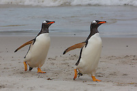 Gentoo Penguins trotting along the beach at Carcass Island, the Falkland Islands