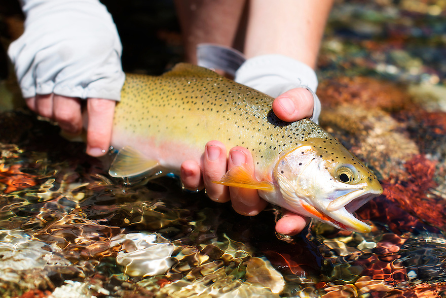 An angler holds a westslope cutthroat trout on the South Fork of the Flathead River in the Bob Marshall Wilderness.