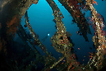 Diver in the Liberty Wreck fully encrusted with corals, sponges and other marine life