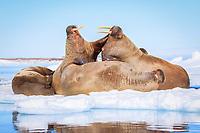 Atlantic walrus, Odobenus rosmarus rosmarus, herd, fighting, resting on ice floe, Lagoya, Svalbard, Norway, Atlantic Ocean