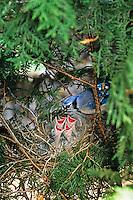 Blue Jay, at the nest, feeding chicks. Medford, New Jersey