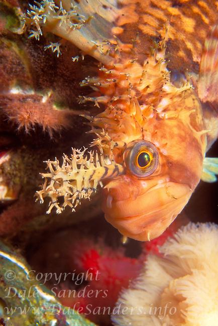 Decorated Warbonnet ( Chirolophis decoratus) underwater in Queen Charlotte Strait, British Columbia, Canada.