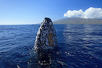 Humpback whale with barnacles spyhops with the island of Lanai; Hawaii in background.