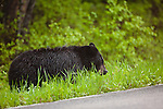 A single black bear feeds on grass along a roadside.