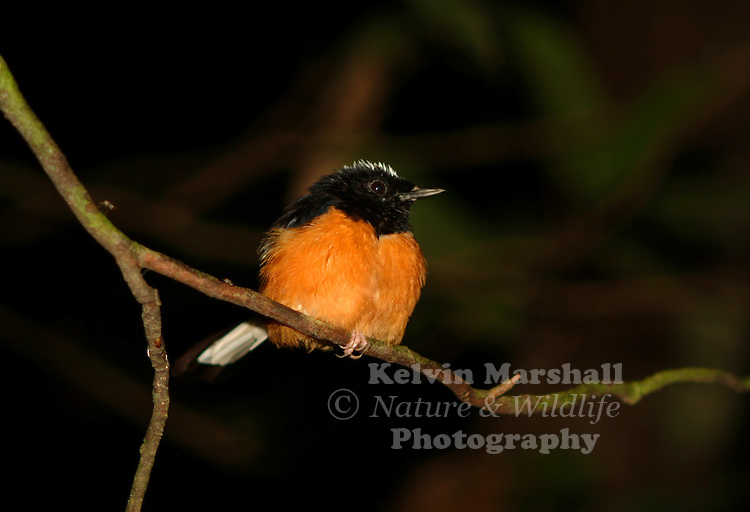White-browed Shama (Copsychus stricklandi)- resting in a tree close to the river.