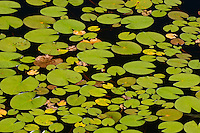 Lily pads in pond<br /> WHiteshell Provincial Park<br /> Manitoba<br /> Canada