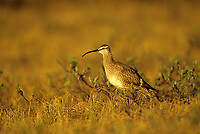 Whimbrel (Numenius phaeopus). Colville River Delta, Alaska. June.