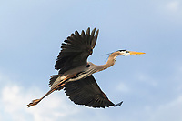 Great Blue Heron, Ardea herodias, flying against a soft blue sky.