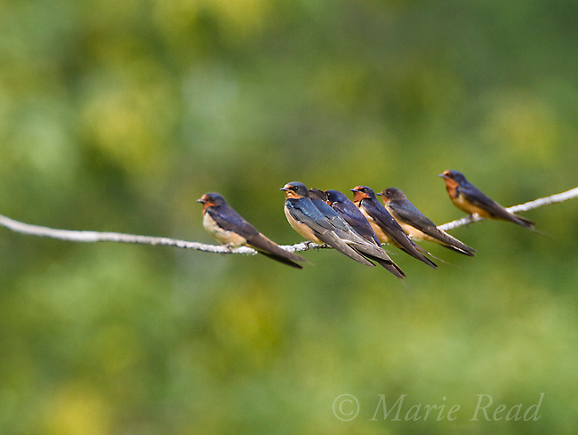 Barn Swallows (Hirundo rustica) flock of adults and young perched on wire in late summer, New York, USA