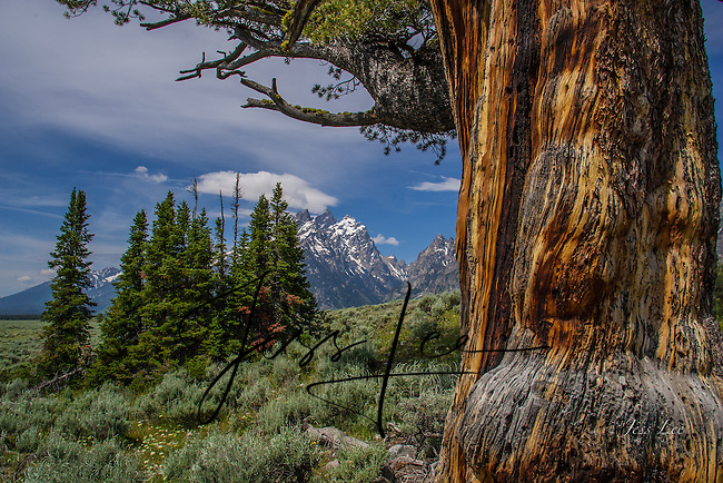 Tetons and trees