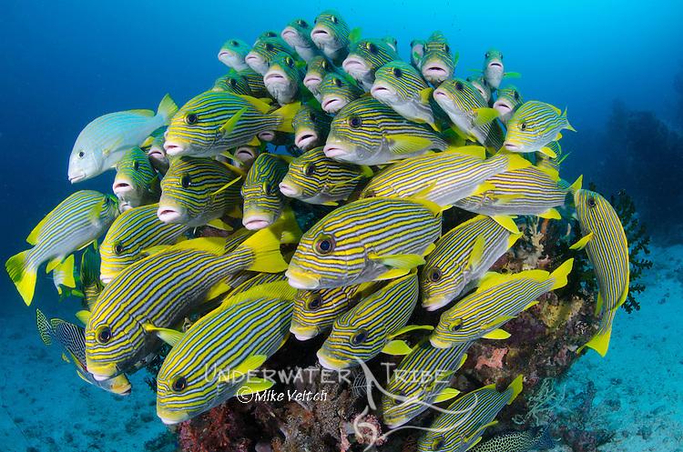 School of Striped Sweetlips, Plectorhynchus polytaenia, on a coral head, Dampier Strait, Raja Ampat, West Papua, Indonesia, Pacific Ocean