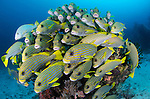 School of Striped Sweetlips, Plectorhynchus polytaenia, on a coral head, Dampier Strait, Raja Ampat, West Papua, Indonesia, Pacific Ocean