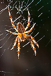 Cross Orb weaver Spider (Araneus diadematus) in web