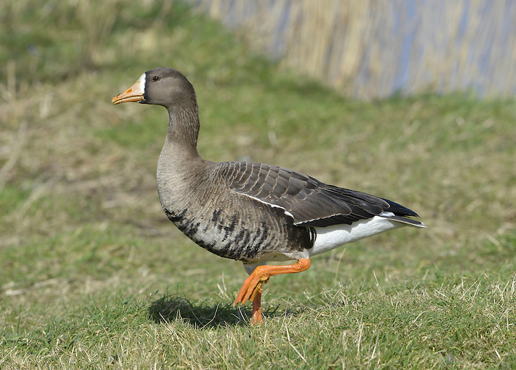 Greenland White-fronted Goose - Anser albifrons flavirostris.  L 65-75cm. Adults have striking white patch on forehead. 2 ssp. occur: Greenland White-front A.a.flavirostris has orange bill and overall darker plumage than smaller, pink-billed European White-front A.a.albifrons. All birds have orange legs and mainly dark wings with faint pale wing bars. Sexes are similar. Adult Greenland has dark brown head grading to paler brown on neck and underparts; note black patches on belly and large white forehead patch. Back is dark grey-brown and stern is white. Bill tip is white. Adult European is shorter-necked and paler, especially on head, belly and back. Bill tip is white. Juveniles are similar to respective adults but lack white forehead patch and black belly markings; tip of bill is dark. Voice Utters barking, musical calls. Status Locally common winter visitor; Greenlands visit in Ireland and NW Scotland, Europeans visit England and S Wales. Favours wet grassland.
