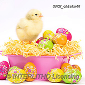 Xavier, EASTER, OSTERN, PASCUA, photos+++++,SPCHCHICKS40,#e#, EVERYDAY ,chicken