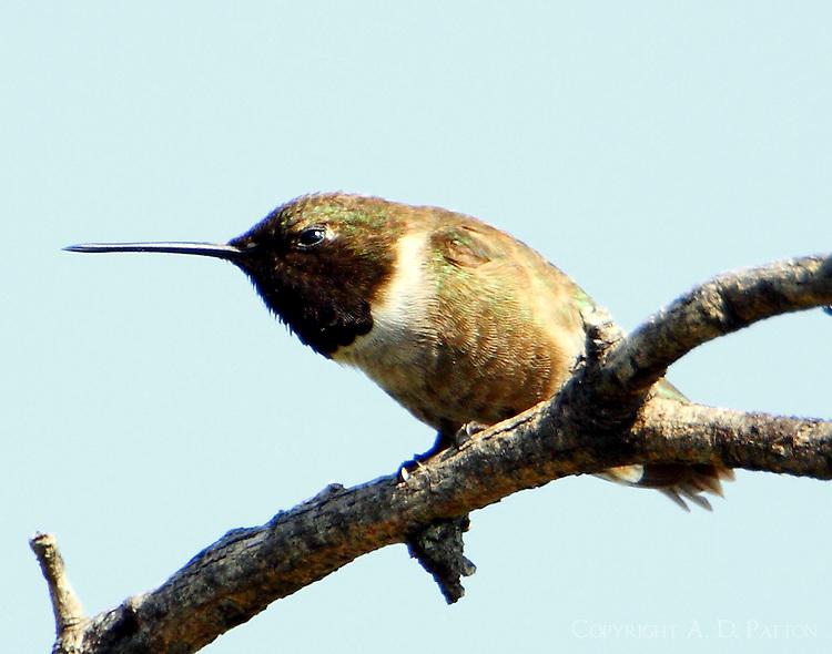 Male black-chinned hummingbird