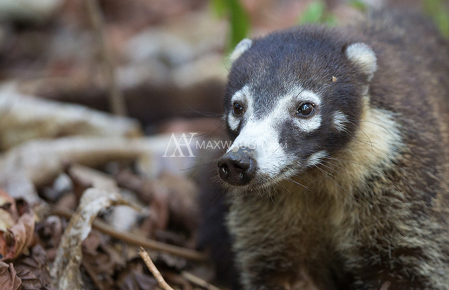 The coati is a cousin of the raccoon.