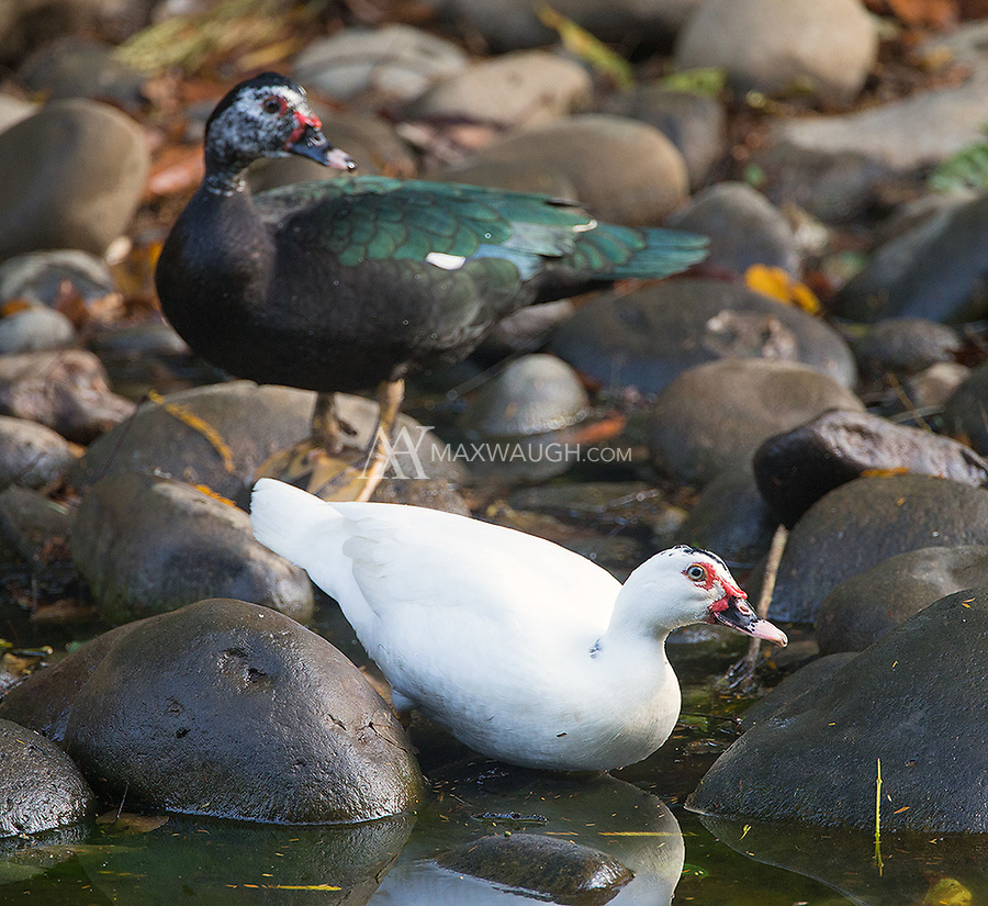 Surely the Muscovy duck is one of the ugliest birds around.  But it's quite colorful as well.