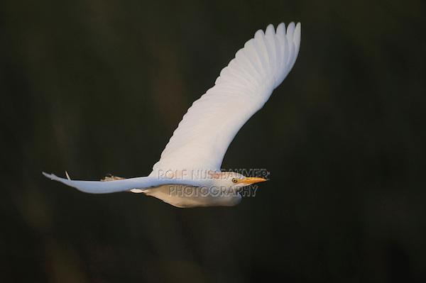 Cattle Egret (Bubulcus ibis), adult in flight, Fennessey Ranch, Refugio, Coastal Bend, Texas, USA