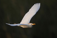 Cattle Egret (Bubulcus ibis), adult in flight, Fennessey Ranch, Refugio, Coastal Bend, Texas, USA