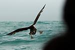 Northern Giant Petrel (Macronectes halli) landing while tourist looks on, Kaikoura, South Island, New Zealand