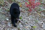Black bear; ursus americanu