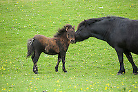 Shetland pony and foal, Tebay, Cumbria.