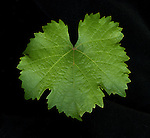 Reisling grapeleaf on Gamble Ranch near Yountville, CA