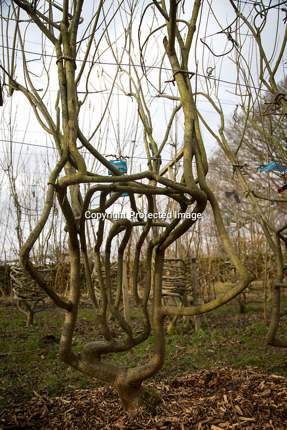 23/02/18<br /> <br /> Full Grown furniture is grown in a woodland near Wirksworth, Derbyshire. <br /> <br /> As seen here: <br /> http://www.dailymail.co.uk/news/article-5587659/Willows-transformed-seats-seven-years-available-buy-5-000.html<br /> <br /> All Rights Reserved: F Stop Press Ltd. +44(0)1335 344240  www.fstoppress.com.