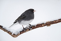 Dark-eyed Junco (Junco hyemalis hyemalis), Slate-colored group, male on a snowy branch on a cold winters day in Tarrytown, New York.