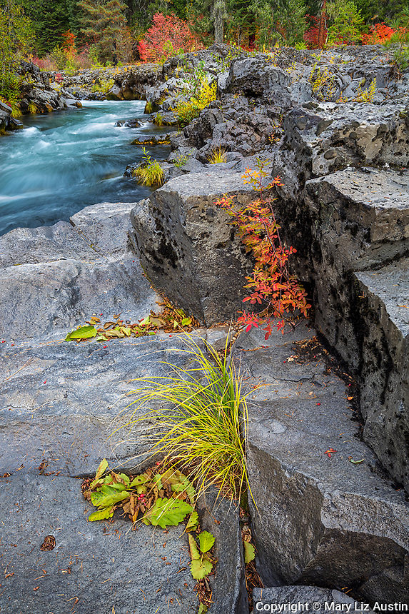 Rogue River National Forest, OR: Sedge and baldhip rose growing in the cracks of the basalt banks of the Rogue River in fall. Part of the Rogue-Umpqua Scenic Byway