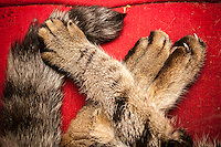 A domestic short hair cat's paws showing a front paw, left, declawed contrasting with the untouched rear paws, right, in New York on Wednesday, May 18, 2016. A bill introduced by NYS Assemblymember Linda Rosenthal want to make unlawful the declawing of cats. Veterinarians from various group either support the law or feel that the decision should be left to owners and their vets. (© Richard B. Levine)