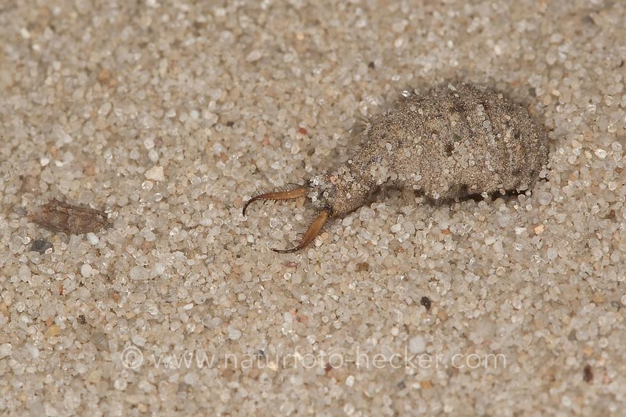 Ameisenlöwe, Ameisen-Löwe, Ameisenjungfer, Myrmeleontidae, Larve mit spitzen Saugzangen, antlions