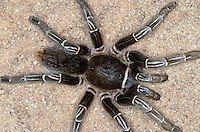 Striped Knee Tarantula