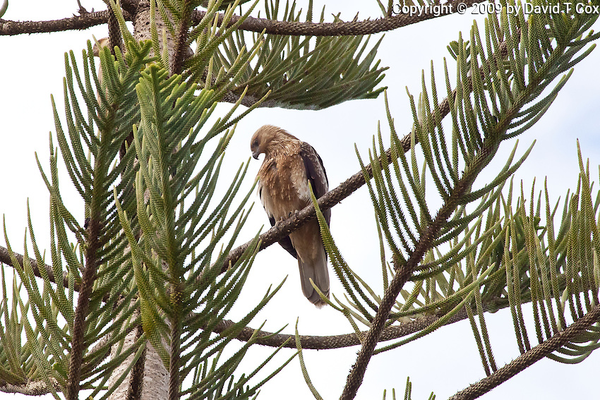 Whistling Kite, Myall Lakes to Pt Macquarie, NSW, Australia
