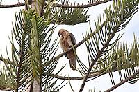 Whistling Kite, Myall Lakes to Pt Macquarie, NSW, Australia