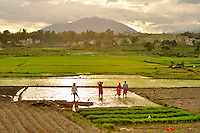 Growing rice in paddy fields outside Kathmandu, Nepal