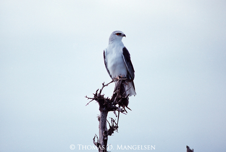 White-tailed Kite perched on tree branch.