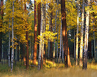 Aspen and ponderosa trees in fall in Deschutes National Forest, Oregon