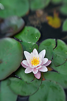 Water Lily and Lily Pad - Selective Focus