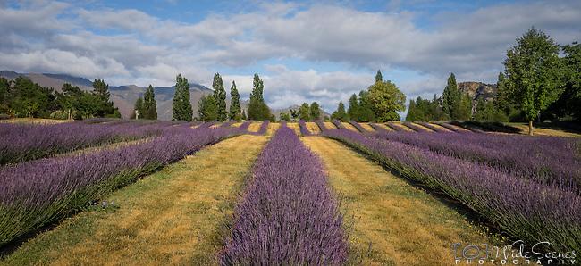 Field of lavender at Wanaka Lavender Farm, Wanaka, New Zealand