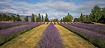 Field of lavender at Wanaka Lavender Farm, Wanaka, New Zealand