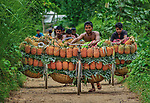 Workers balance hundreds of pineapples on their bikes as they take them to sell at market.  The men, pushing their stacked bicycles, have collected the pineapples directly from a nearby forest.<br /> <br /> The passages of the forest are so narrow that this method of transport is the only way locals can carry the fruit to the market two hours away.  Photographer Abdul Momin pictured the traditional technique in Madhupur, Bangladesh.  SEE OUR COPY FOR DETAILS.<br /> <br /> Please byline: Abdul Momin/Solent News<br /> <br /> © Abdul Momin/Solent News & Photo Agency<br /> UK +44 (0) 2380 458800