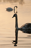 Mute swans (Cygnus olor)reflected in still water in the evening light, Oxford, UK.