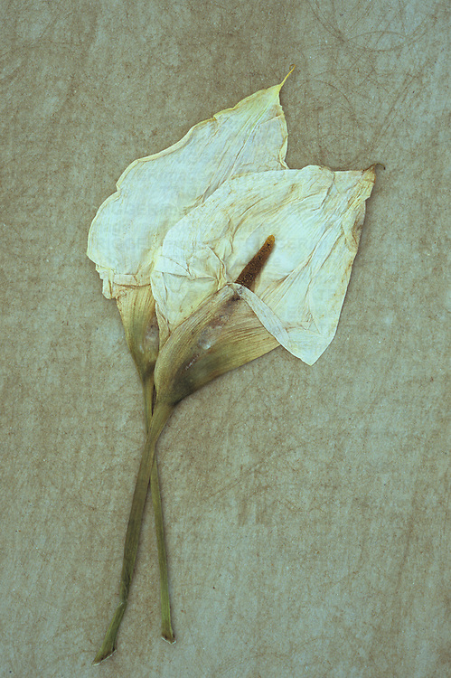 Two dried flowerheads of Arum or Calla lily or Zantedeschia aethiopica Crowborough lying on rough board